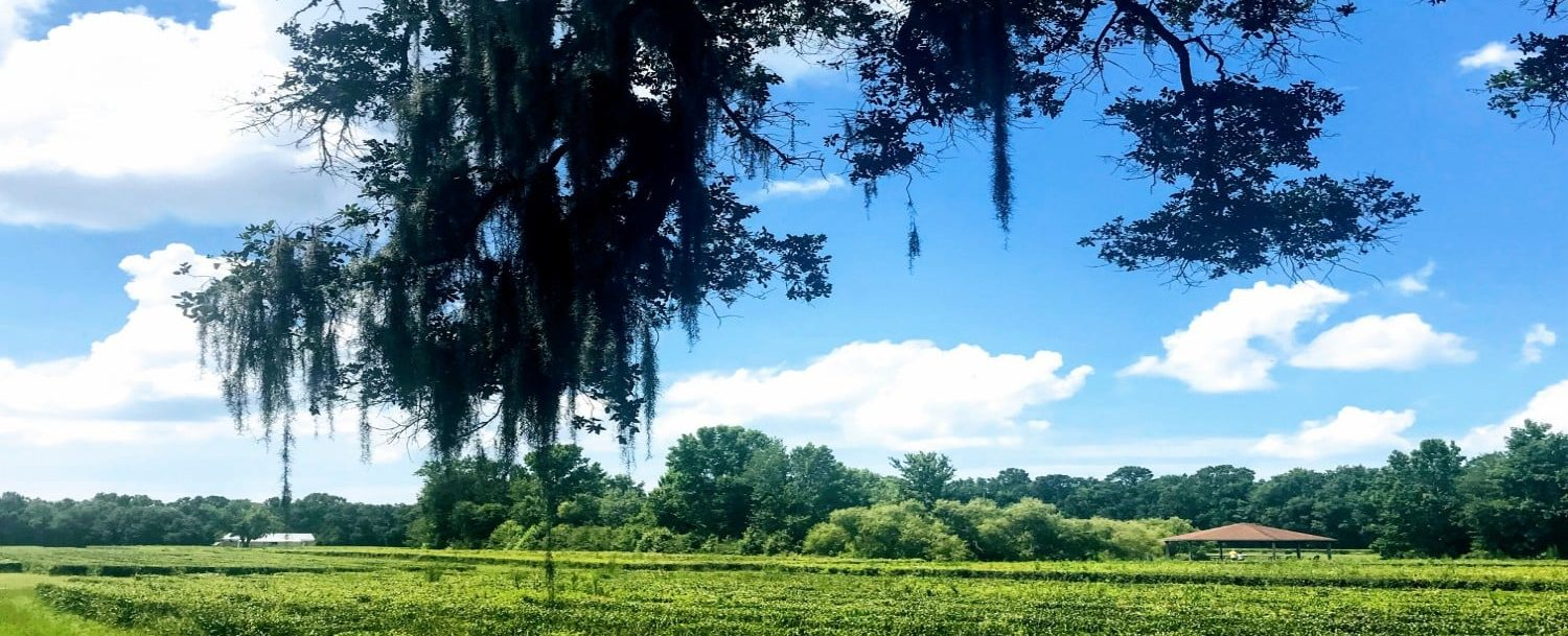 beautiful view of the charleston tea plantation