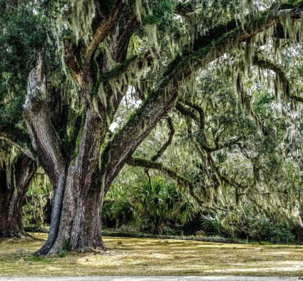 Angel Oak Tree draped in Spanish moss waits for the return of warmer weather.