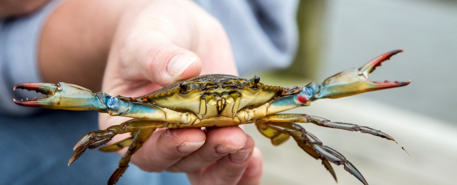 someone holding a blue crab in their hands